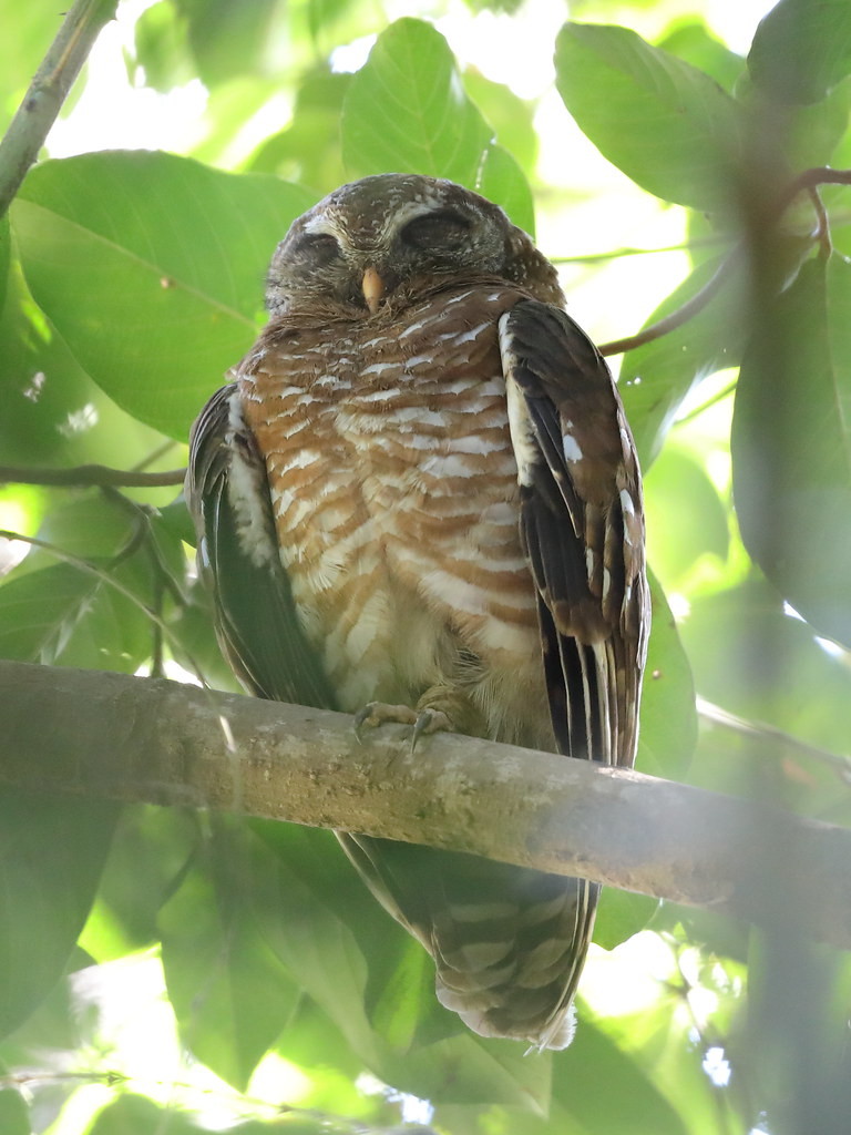 African Wood Owl  Strix woodfordii