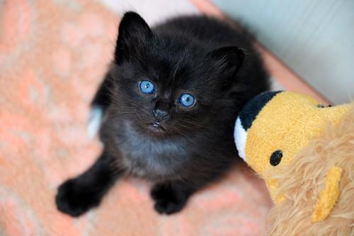 Yoel, gatito monisimo pelo semilargo negro esterilizado, nacido en Febrero´19, en adopción. Valencia. 46736835984_bb0046029d