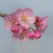 Cherry blossoms by Chiew L
