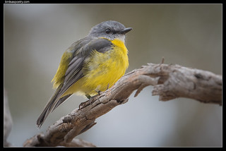 Eastern Yellow Robin | by birdsaspoetry