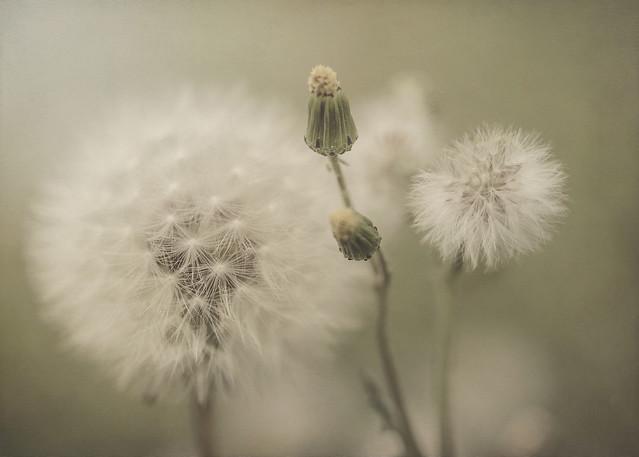Soñar con primaveras de algodón