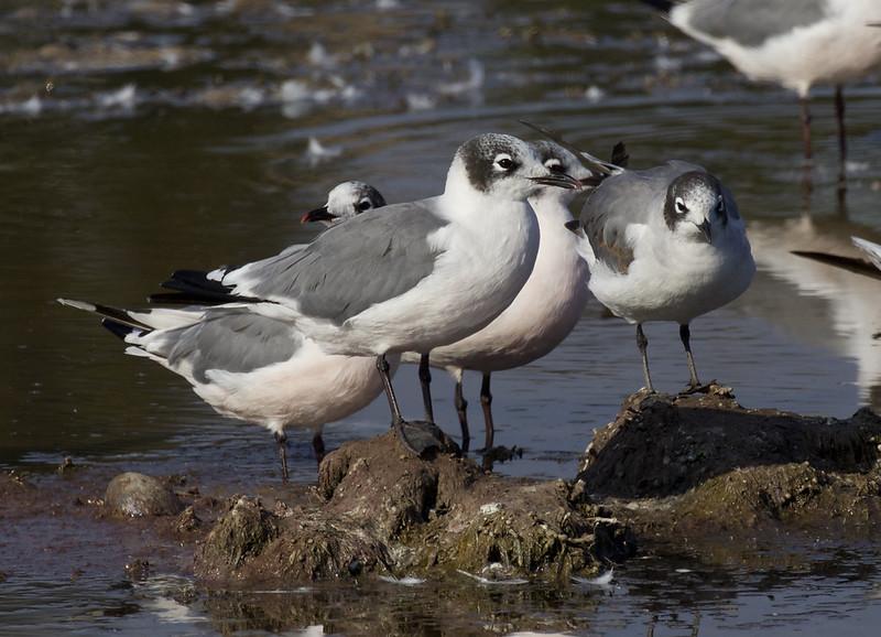 Franklin's Gull, Leucophaeus (Larus) pipixcan Ascanio_Peru 199A5657