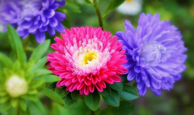 Обои Цветы, Flowers, Colors, астры, Asters картинки на рабочий стол, раздел цветы - скачать