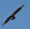 Crested Caracara by NP Rothman
