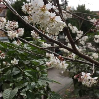 春満開 Spring full bloom | by eyawlk60