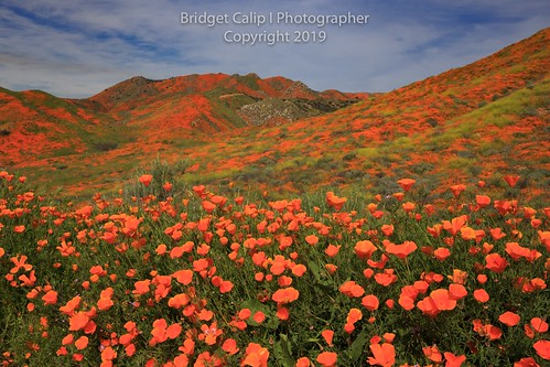 2019 alluringimagescolorado bridgetcalip california californiapoppies lakestreet riversidecounty scenicbyway superbloom usa walkercanyon allrightsreserved beautiful bloom blueskies botanical clouds copyrighted dramaticclouds field flora flower hiking hill landscape meadow orange outdoor plant poppyapocalypse poppygeddon recreation rollinghills sky southerncalifornia spring sunny touristattraction travel vibrant wild wildflowers