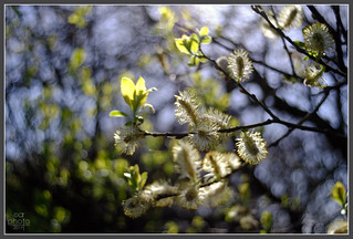 Pussy Willow_Meyer-Optik Lydith | by Rosedalelad