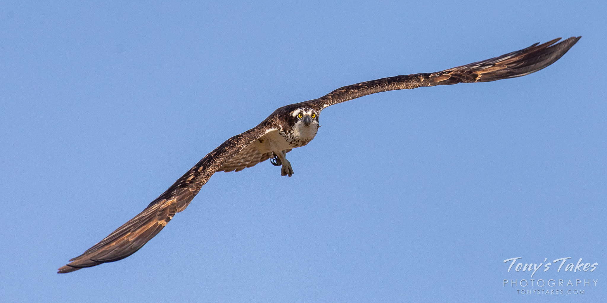 Female osprey focused and flying head on