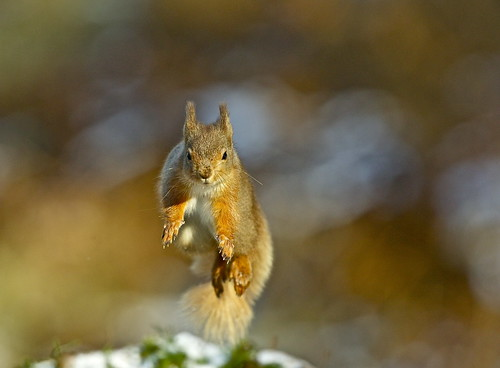 RED SQUIRREL | by tony.cox27