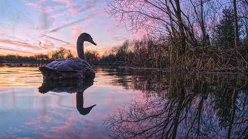 daisynook countrypark hollinwoodcanal uk oldham manchester swan muteswan dawn sunrise beautiful calm peaceful juvenile lakeside lowpointofview reflection reeds overhanging jkrowling quote crimelake