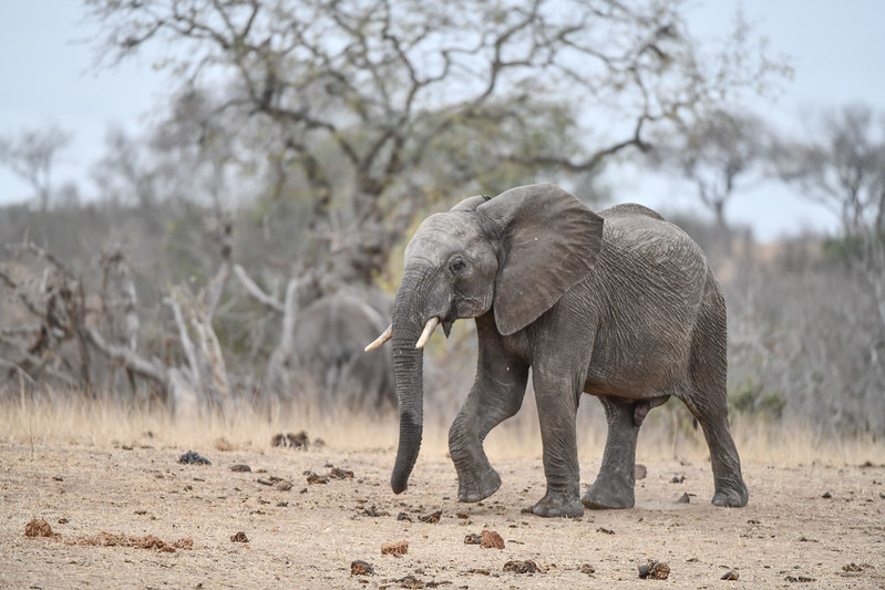 2264 Elephant