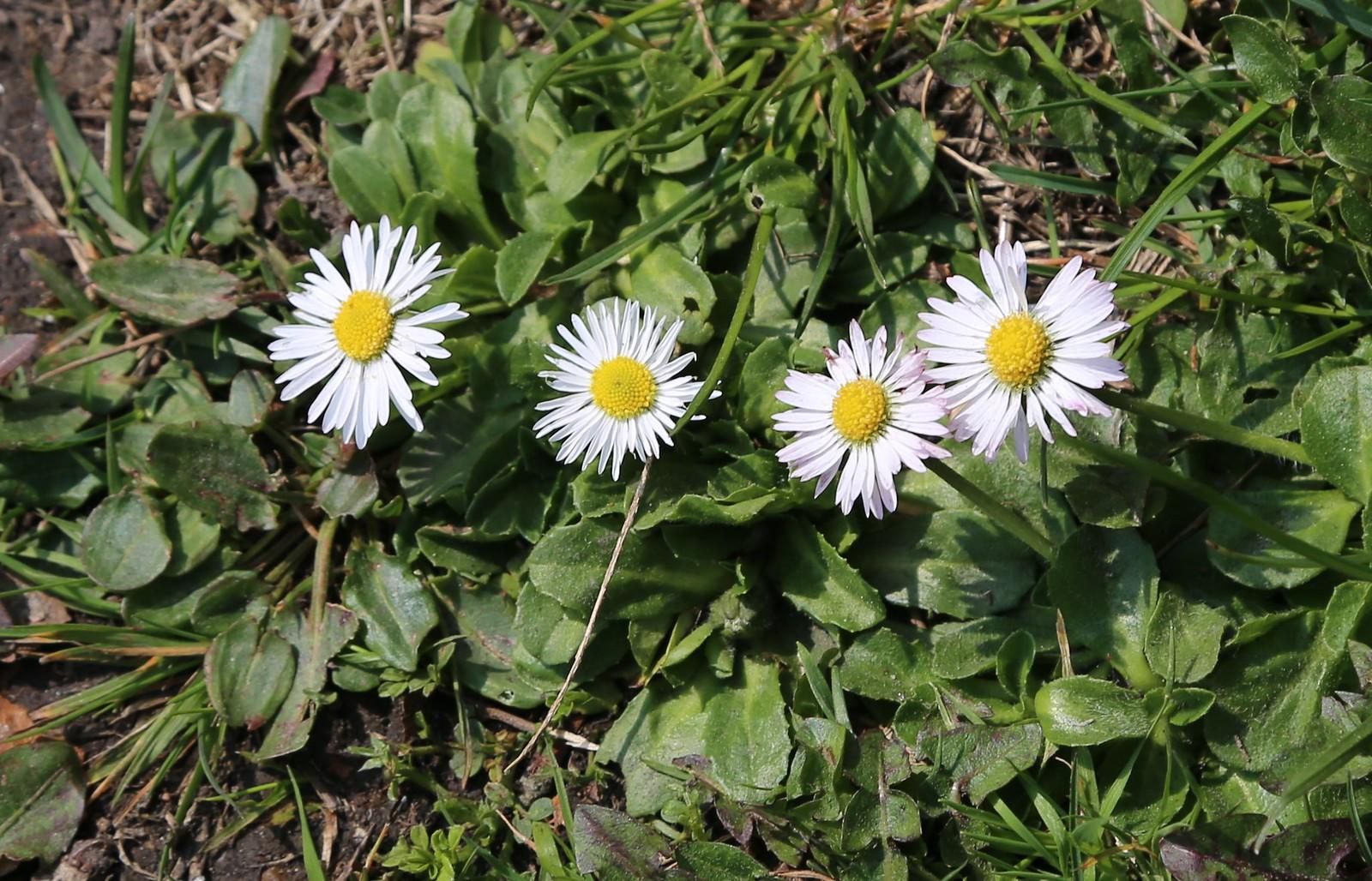 Four daisies near Frant
