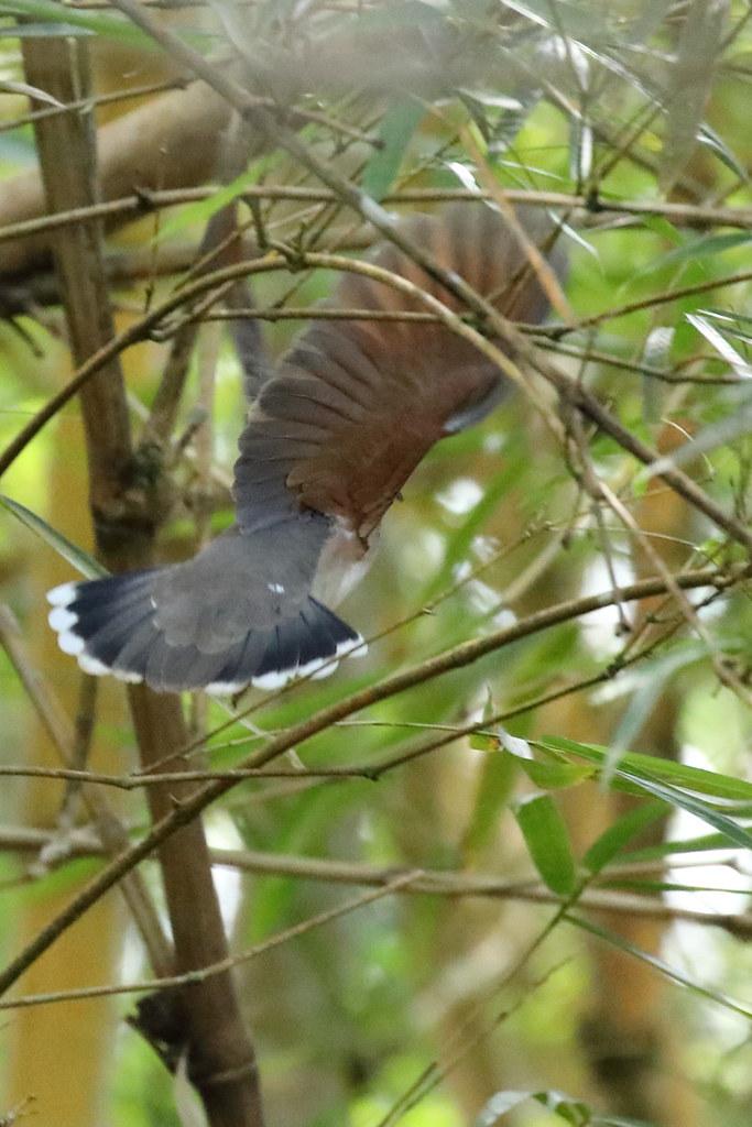 White-tipped Dove, Pura Vida Garden, Puenta Arenas, CR_9160(1)