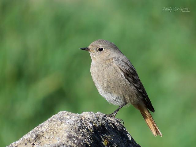 Black Redstart (Phoenicurus ochruros) ♀