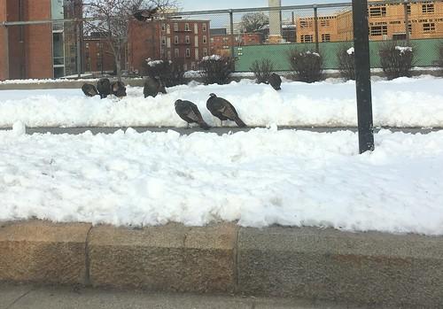 Turkeys on the Southwest Corridor Park