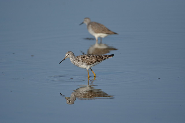 Lesser Yellowlegs. Heritage River Road. Jacksonville, FL.