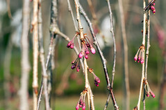 007 Weeping Cherry Buds