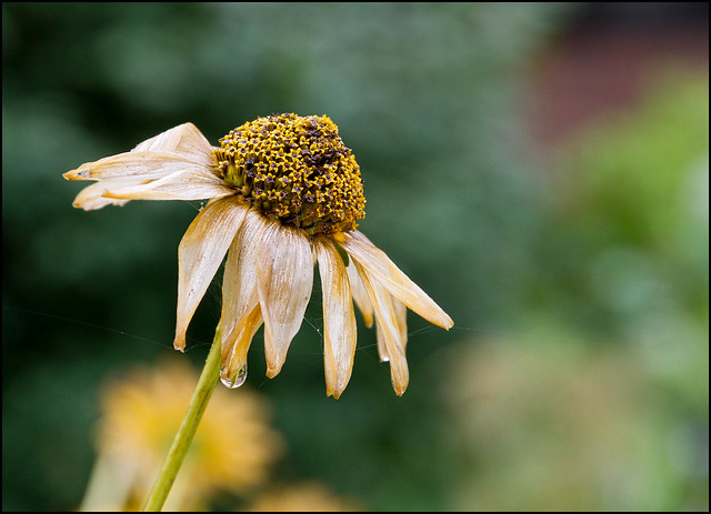 Old Cone Flower