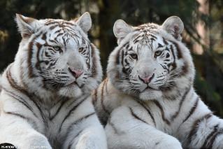 White tigers - Zoo Amneville