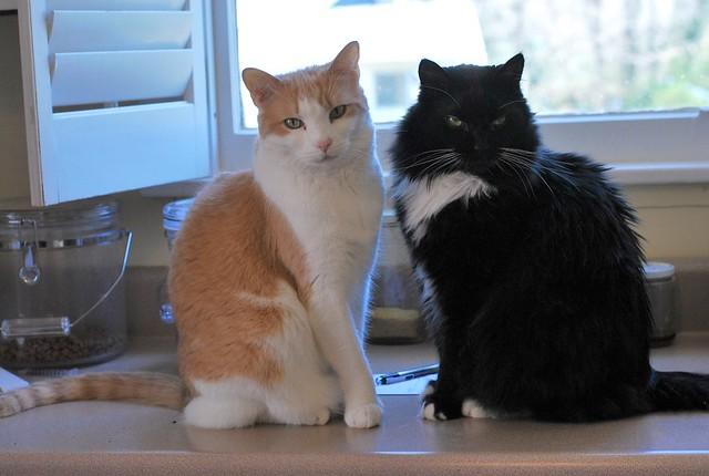 Otis and Batman on the kitchen counter.
