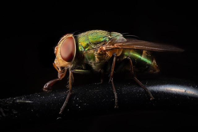 Calliphoridae A