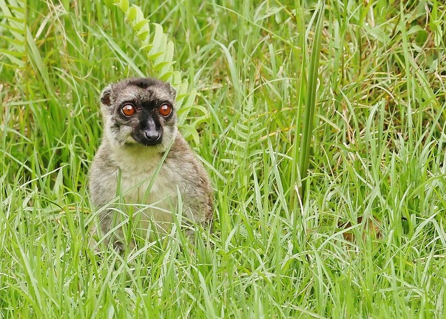Brown Lemur Popping Up From the Long Grass