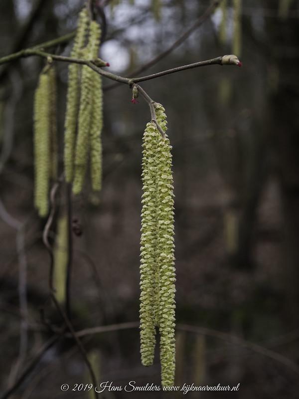 Hazelaar (Corylus avellana)-♂-♀-819_0322