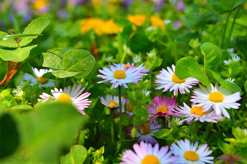 Обои Весна, Ромашки, Camomiles картинки на рабочий стол, раздел цветы - скачать