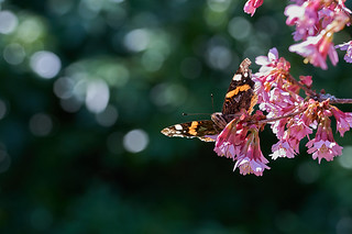 Red admiral butterfly highdown gardens #1   by Lord V