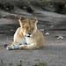 Lioness, Ndutu, Ngorongoro Conservation Area, Tanzania
