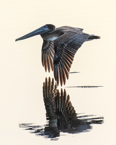 outdoor nature wildlife 7dm2 ef100400mm canon florida bird bif flight