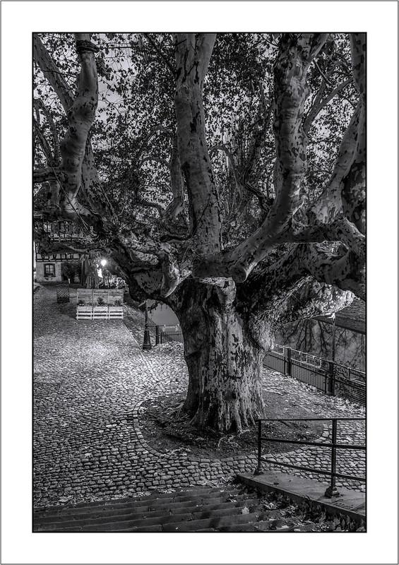 Le vieux platane de Strasbourg (The old plane tree of Strasbourg)