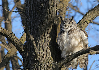 Great Horned Owl...#8