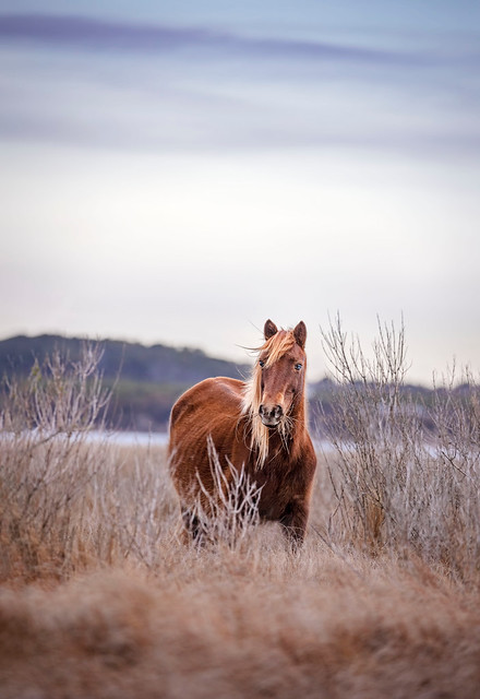 Wild Horse of Assateague...