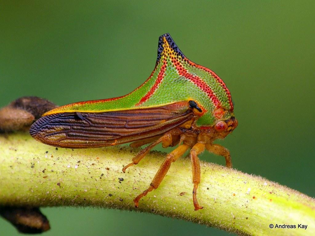 Umbonia pyramidalis - Photo (c) Andreas Kay, algunos derechos reservados (CC BY-NC-SA)