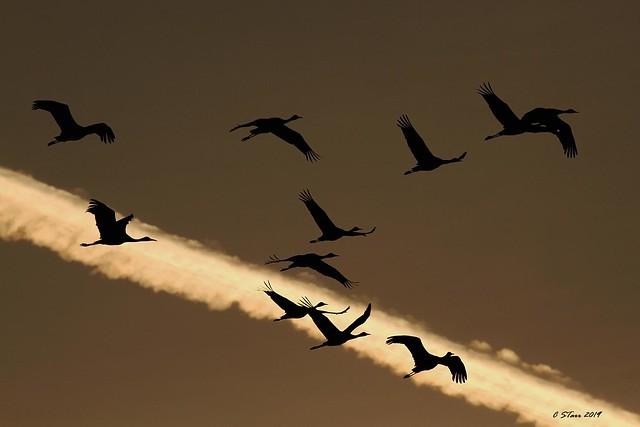 IMG_6982 sandhill cranes