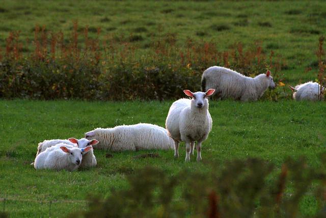 Herd of Sheep / Lofoten Islands Norway Gimsoy
