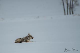 Coyote | by barrypetersphoto