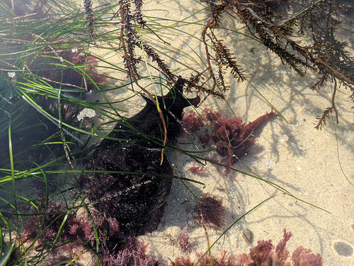 a giant black sea hare | by tlkativ