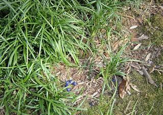Blue Berries of Dwarf Mondo Grass