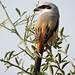 Long tailed Shrike by govindraj137