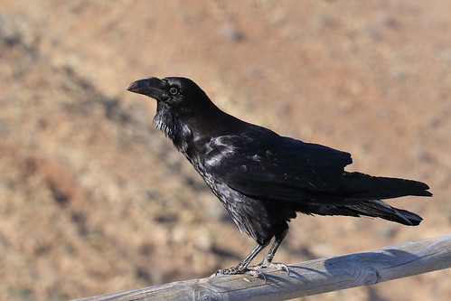 Common Raven | by Chris B@rlow