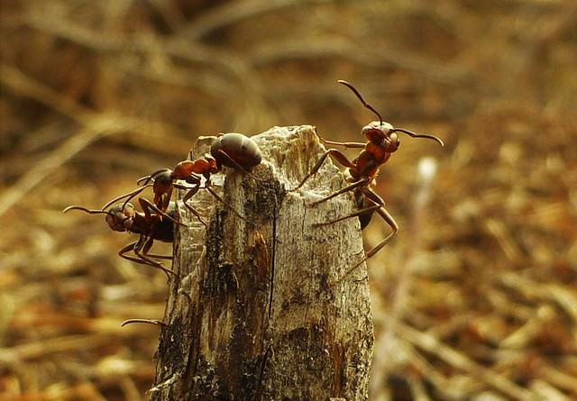 The Wood Ants are Awake..x