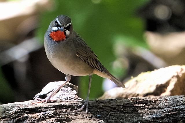 Doi Lang, Th: Siberian Rubythroat