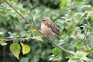 Red-collared widowbird, non-breeding male | by dmmaus