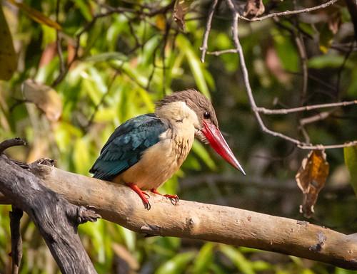 Stork-Billed Kingfisher | by ian tulloch2012