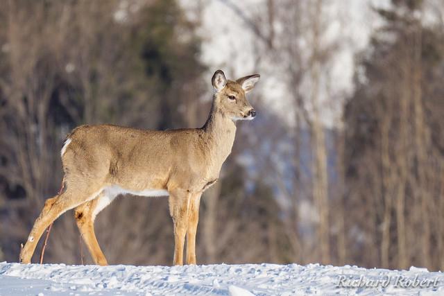 Cerf de Virginie / Whitetail Deer / 09 mars 2019 P1000975.jpg