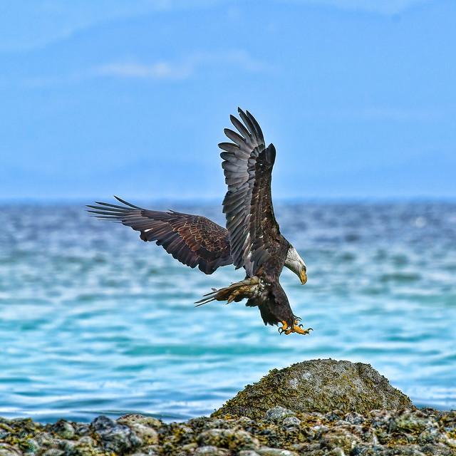 bald eagle (Haliaeetus leucocephalus) . . .