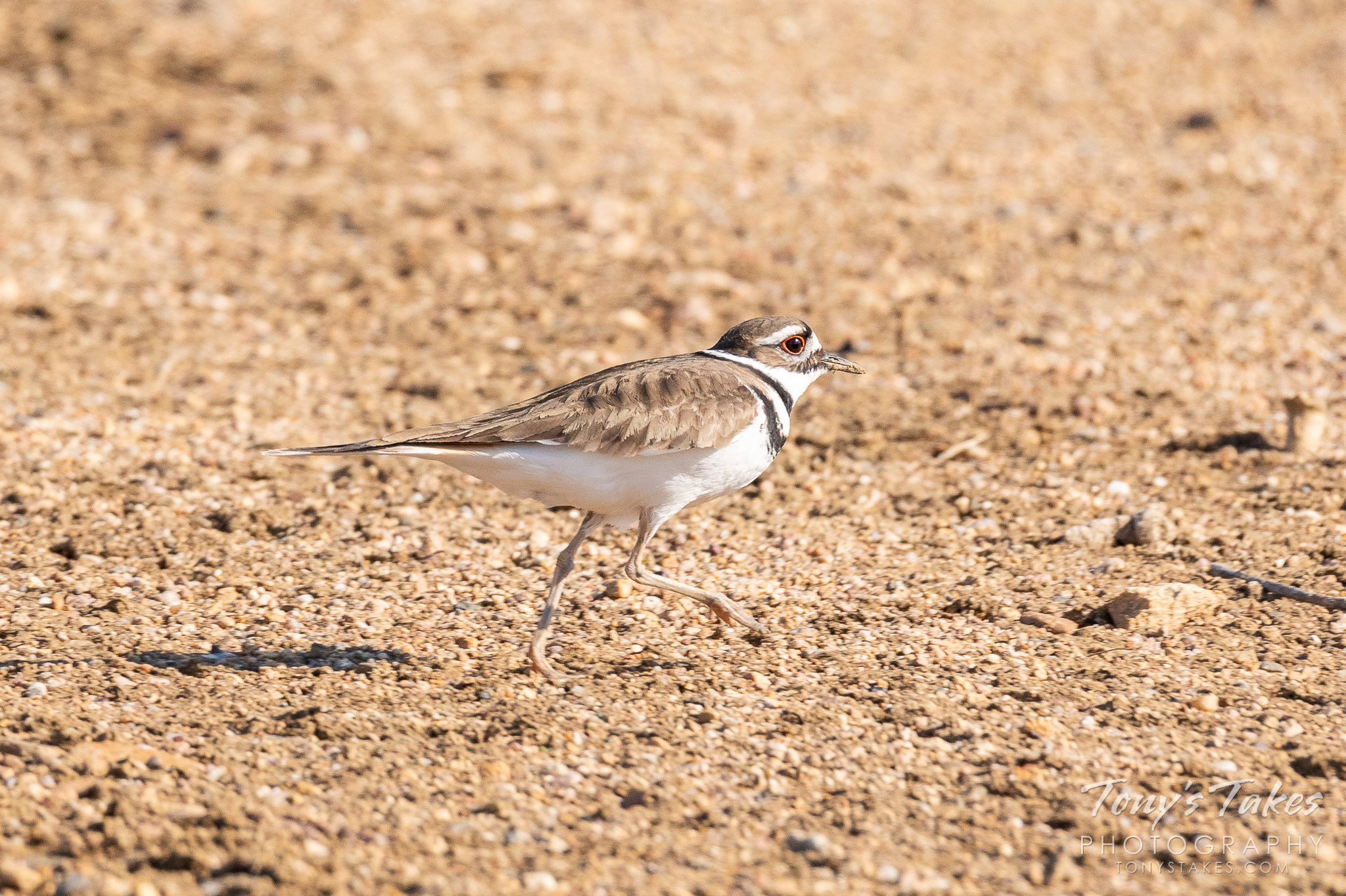 A killdeer goes out for a run in northern Colorado. (© Tony's Takes)
