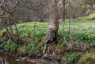 Farndale daffodils | by www.andrewswalks.co.uk